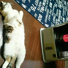 ストーブ独占/まめちゃん/ペット/愛猫 おはようございます☺  しっぽの先の先 …