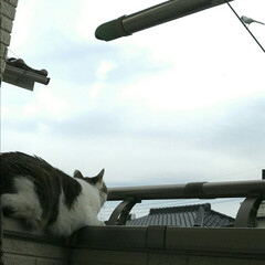野生的/鳥を狙う/猫 鳥を狙っているまめちゃん。  普段はコロ…