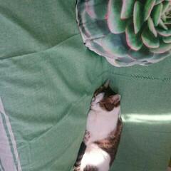 すやすや🙀💤/おひさまLOVE✨✨/まめちゃん/猫/にゃんこ同好会/おやすみショット おはようございます🌼  おひさまと、まめ…