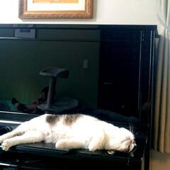 猫/ピアノ ピアノをベットにしないでください。 ひん…