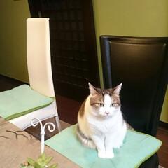 猫/ダイニング/グリーン/アクセントクロス まめちゃん。おはよ。  そこ、パパのお席…
