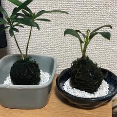 植物/植物のある暮らし/苔玉/100均/ダイソー さみしい部屋にちょっとした飾りとして!