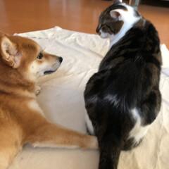 犬/猫/犬と猫/猫と犬/柴犬/柴犬と猫/... 「おっと失礼!」 柴犬ミクの前足に、ちょ…