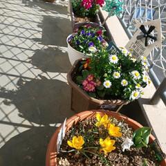 愛猫/癒し/クロッカス/ガーデニング/暮らし お天気がいいです〜ここに春の画像とトラを…