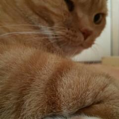 ネコ好きさんと繋がりたい/猫と暮らす 僕トラ……何回もパパを起こしにチャレンジ…
