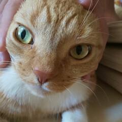 立ち耳スコティッシュフォールド/愛猫/猫バカ 今朝のトラ君😾 パパに(   >ω<)ヾ…
