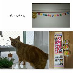 """誕生日/愛猫 今日はトラの誕生日""""(ノ*>∀<)ノ 5…"""