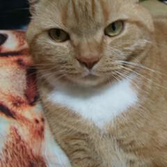 立ち耳スコティッシュフォールド/愛猫/リミアの冬暮らし ホカペのうえでヌクヌク〜 ママの子守りも…