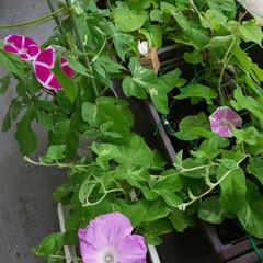 朝顔/紫陽花/ガーデニング 雨の中でも毎日咲いてくれてます! 種を収…