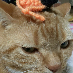 立ち耳スコティッシュフォールド/癒し系/愛猫 珍しい〜頭にネズミ🐭乗せても怒らない😼眠…