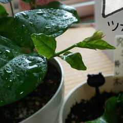 ジャスミン/4つ葉/ガーデニング/暮らし 昨夜から降り続いてる雨*☂︎*̣̩⋆̩ …(2枚目)
