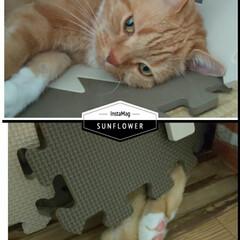 スコティッシュフォールド立ち耳/癒し/愛猫 おはようございます٩(*´꒳`*)۶ 新…