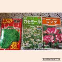 春菊/レンゲ/カモミール/種まき/花 欲しい花……見に行って無いなら🤔やるっき…