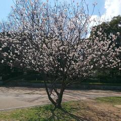 ウォーキング/LIMIAおでかけ部/ハンドメイド/猫 こちらもウォーキング途中‼️ 早咲きの桜…(1枚目)