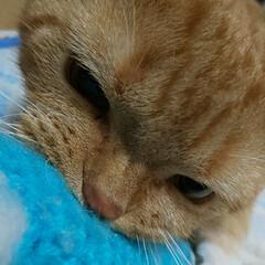 お腹綺麗になったよ!/癒し/愛猫 私が編んだ秋刀魚が🤣🙀 咥えて引きずって…