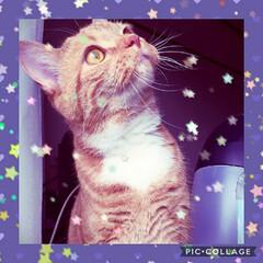 スコティッシュフォールド立ち耳/愛猫/猫バカ パパさんに褒められたお気に入りの写メ💖ト…