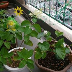 ジャスミン/カシワバアジサイ/ガーデニング 1月19日に苗を植え替えたカシワバアジサ…