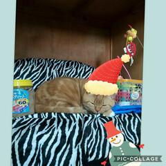 猫好き/立ち耳スコティッシュフォールド 変な場所で寝てました(。•́ωก̀。)💤