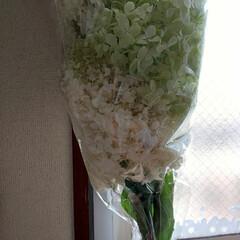 カシワバアジサイ 昨夜、花屋で見つけ300円✨でした!安い…