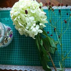 カシワバアジサイ/紫陽花/にゃんこ同好会 イオンの花屋さんで見つけた😃 さっそくド…