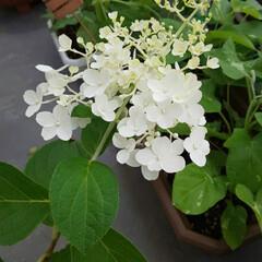 ペチュニアまだまだ咲いてる/朝顔/ピラミッド紫陽花/ガーデニング/オジギソウ おはようございます٩(*´꒳`*)۶ 連…