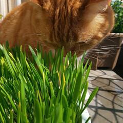 癒し/愛猫 ハンドメイドお休みなので、トラの食事風景…
