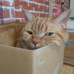 ダンボールハウス/癒し/愛猫 今日もベストポジションで……  不細工な…(2枚目)