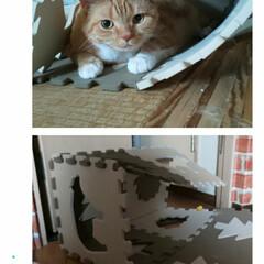 スコティッシュフォールド立ち耳/癒し/愛猫 息子のマンションが倒壊してしまいました😱…