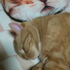立ち耳スコティッシュフォールド/愛猫 ホカペでヌクヌク〜(。•́ωก̀。)💤