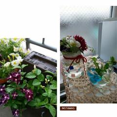ガーデニング大好き/令和の一枚/にゃんこ同好会/至福のひととき 真夏に綺麗に咲いてくれてる花達を切り戻し…