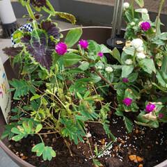 可愛くない🐞/寄せ植え/ガーデニング 寄せ植えした、背丈の低い千日紅、ブラック…