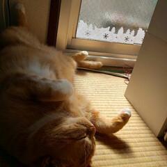 スコティッシュフォールド立ち耳/癒し/愛猫 トラのお昼寝Time(。•́ωก̀。)💤…