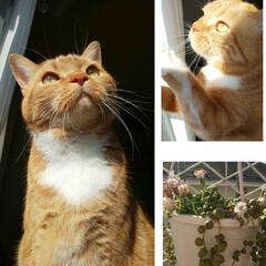 立ち耳スコティッシュフォールド/愛猫/グリーンネックレス 成人のミニャさんおめでとうございます!と…