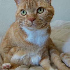 スコテッシュフォールド立ち耳/癒し/愛猫 今日は晴天であります☀ トラは変な格好で…