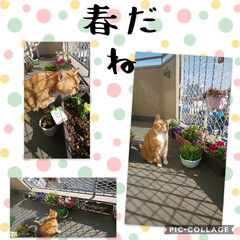 ハンドメイド/猫/にゃんこ同好会 チューリップ🌷もそろそろかな⁉️ベランダ…
