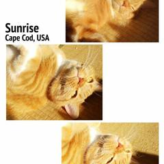 ネコ好き/スコティッシュフォールド立ち耳 西日に照らされ黄金色に輝いてる✨トラ様な…
