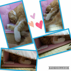 立ち耳スコティッシュフォールド/癒し系/愛猫好きすぎ 鬼子👹お姉ちゃんがくれたキティちゃんの箱…