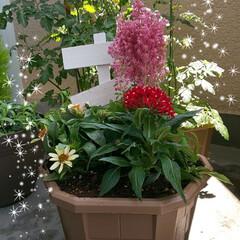 夏の花/ガーデニング/雨季ウキフォト投稿キャンペーン/至福のひととき 昨日お連れした,アスチルベ(ピンクのモフ…