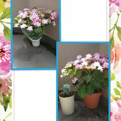 花切り/植え替え/クリスマスローズ/緑のある暮し/紫陽花ダンスパーティー/暮らし 21日連れてきた紫陽花(ダンスパーティー…