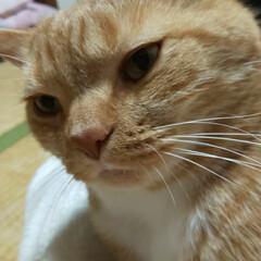 スコティッシュフォールド立ち耳/癒し/愛猫 2回目のシャンプー頑張ったニャ😾って顔し…