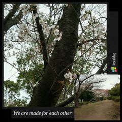 さくら/近所の公園 東京端っこ……千葉より この辺は都会より…
