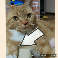 スコティッシュフォールド立ち耳/癒し/愛猫 16日フィラリア予防接種予約しましたが……