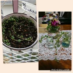 緑のある暮らし/多肉植物/ハンドメイド/猫 グリネ植え替え終了🌱 元気にモリモリにな…