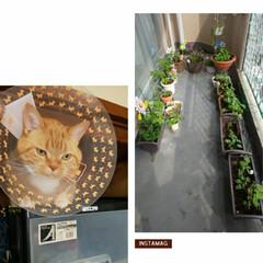 夏仕様ベランダ/ただ今エリザベスカラー装着/癒し/愛猫 エリザベスカラー付けて😅4日…… 毎日?…