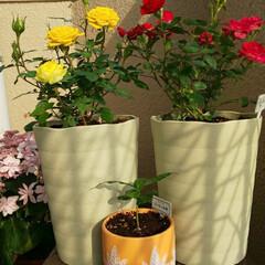 コーヒーの木/ミニ薔薇/ガーデニングどハマり ミニ薔薇植え替え完了( ̄^ ̄ゞ コーヒー…