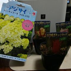 チューリップの芽/紫陽花/ガーデニング大好き 見てみて〜カシワバ紫陽花苗売っていたよ〜…