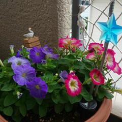 98円ペチュニア/ガーデニング 今日モリモリに咲いてました٩(๑>ᴗ<๑…