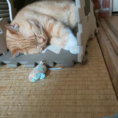 スコティッシュフォールド立ち耳/癒し/愛猫 🥴やっと寝てくれました〜💦 私が出掛けて…