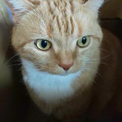 5歳♂/スコティッシュフォールド立ち耳/癒し/愛猫 昨日届いた荷物の箱に とりあえずIN………