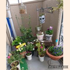 ガーデニング大好き/愛猫/癒し/リメ鉢/ベランダ/ハンドメイド/... 御機嫌よう…… 今咲いてるお花の集合写真…